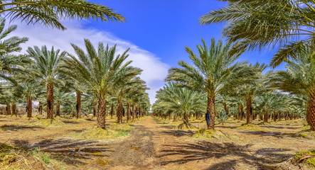 Plantation of date palms, maintenance. Tropical agriculture industry in the Middle East