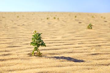 Kleine Pflanze im Dünengebiet El Jable in Corralejo, Fuerteventura
