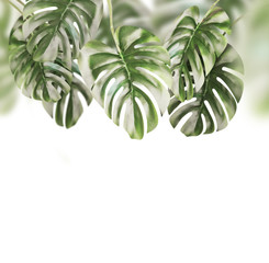 Tropical leaves background . Hanging Monstera branches hanging , isolated on white background
