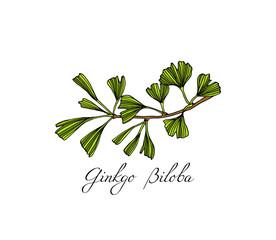 Hand drawn ginkgo plant