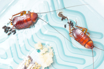 Top view of two cockroaches stuck on sticky cockroaches trap
