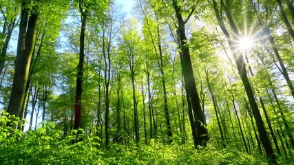 Wall Mural - Fresh green beech forest beautifully illuminated by warm rays of the spring sun, with slow camera panning