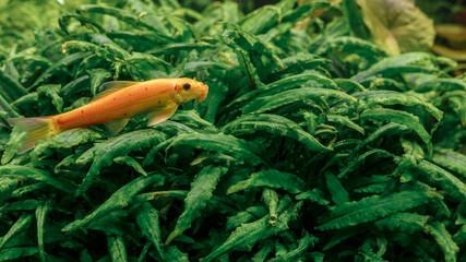 Little orange fish swimming in the fresh water