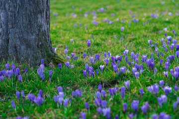 Some Crocus growing in the wild