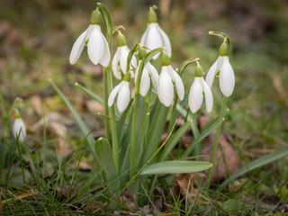 A group of snowdrops in the garden in spring