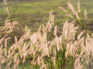 Grass Flowers Field in The Paddy