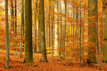 Sunny Forest of Beech Trees in Autumn, Leafs Changing Colour