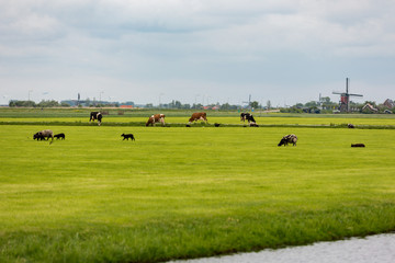 Cows and sheep on Dutch a grassland.