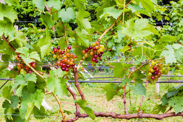 Fototapete - Bunches of growing seedless grapes on a vine
