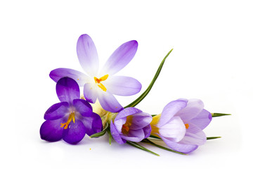 Photo sur Plexiglas Crocus crocus - one of the first spring flowers