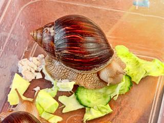 Giant african Achatina fulica snail eats cucumber.
