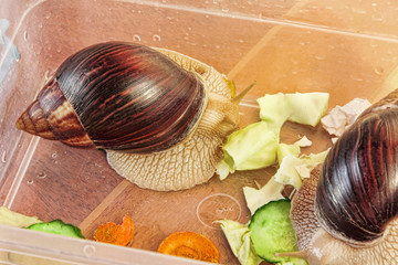 Giant african Achatina fulica snails eats cucumber and cabage.