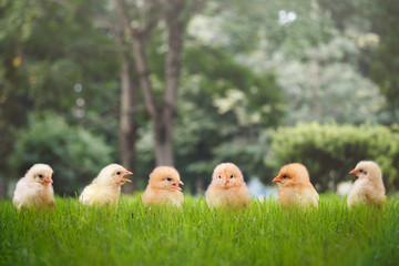 Group of Chicks in different poses in the green grass