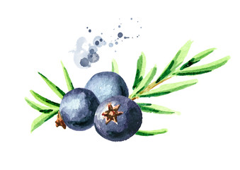 Juniper berry. Watercolor hand drawn illustration, isolated on white background