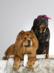 Funny dog picture. Chow Chow and rottweiler with costumes. Tie and sunglasses on dogs.