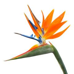 Isolated exotic tropical flower of Strelitzia reginae or bird of paradise