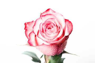 Beautiful fresh rose, isolated on white background