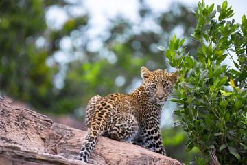 Leopard Club Head Turned
