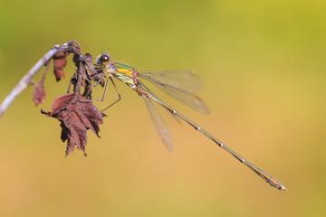 Detail closeup of a western willow emerald damselfly Chalcolestes viridis