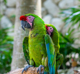 Playa Del Carmen, Mexico - May 17, 2017 - Tropical Green Parrots