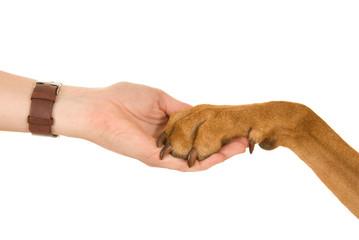 Hund legt Pfote in eine Hand isoliert auf weißem Hintergrund