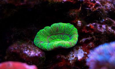 Open brain sp. coral in reef aquarium