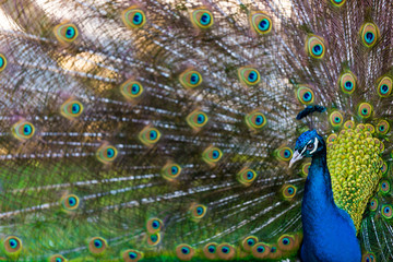 Peacock Presenting it's Plumage / Tail