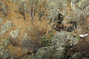 Bobbio Pellice, Pellice Valley, Turin Province, Piedmont, Italy. Chamois on the rock.