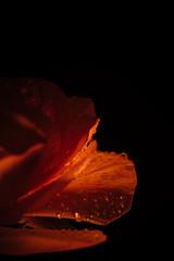 Detail of orange petals