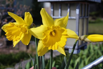 Daffodils bloom in the spring sunshine