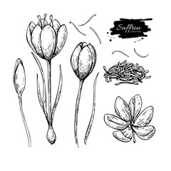 Saffron flower vector drawing. Hand drawn herb and food spice.