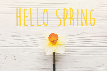 hello spring text. beautiful fresh daffodils on white wooden background top view. bright yellow flowers on rustic wood flat lay. floral greeting card