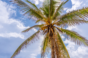 tropical, coconut palm with fruit, the sky with clouds