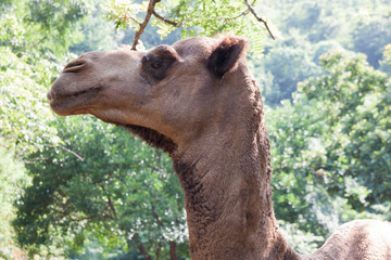 portrait of camel close-up in green forest