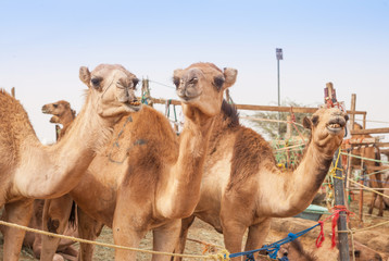 Camels at the Camel Market in Al Ain
