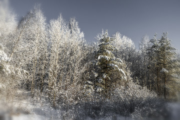 Snow-covered trees in the forest on a quiet winter day.