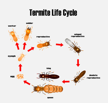 termite life cycle,cartoon style,vector.