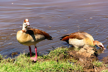 Wild egyptian ducks swimming in the lake. Mallard ducks  close up. Kenya, Africa
