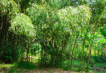 Bamboo in the wild jungles