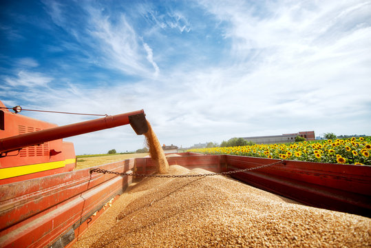 Filling a big red trailer with corns of wheat out of combine harvester in a sunflower field.