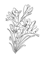 Freesia flower graphic black white isolated sketch