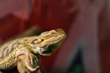 Bearded dragon lizard or pogona lizard on the red background
