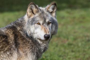 Wolf In Woodland