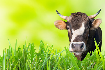 Cow grazing on farm field with green grass and soft background