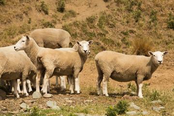 Cute baby farm sheep looking, New Zealand farm animal