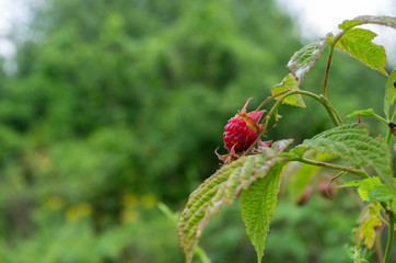 Wild forest raspberry growing in nature.