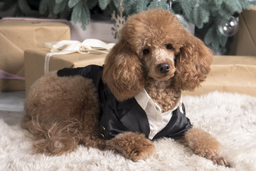 poodle in costume