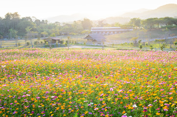 Poster Miel Blossom cosmos flower field