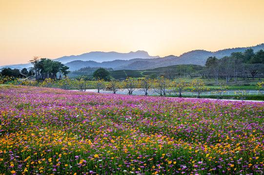 Blossom cosmos flower field