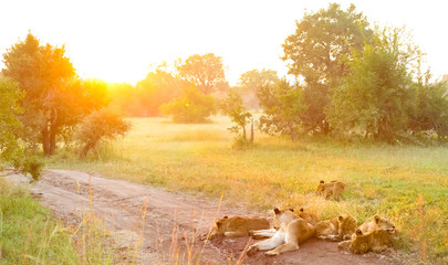 A pride of African Lions on a dirt road in a South African wildlife game reserve, female lioness and cubs at sunrise